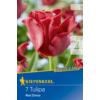 Kép 1/2 - kiepenkerl tulipa red dress tulipán virághagymák