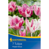 Kép 1/2 - kiepenkerl tulipa purple circus tulipán virághagymák