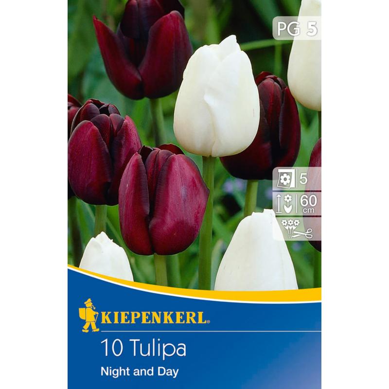 kiepenkerl tulipa night and day tulipán virághagymák