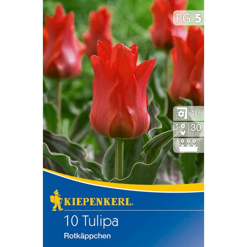 kiepenkerl tulipa rotkappchen tulipán virághagymák