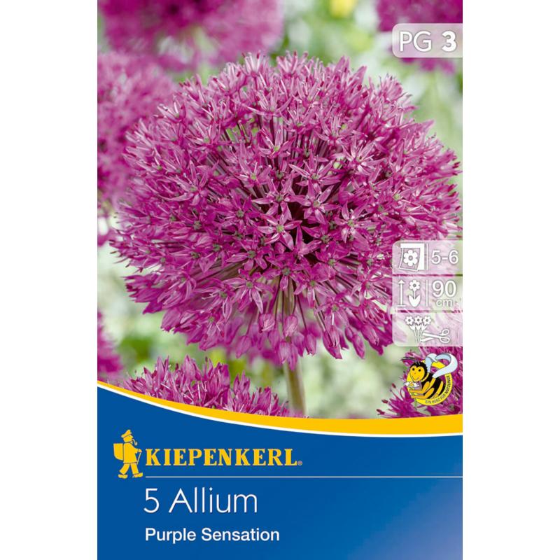 kiepenkerl díszhagyma virághagymák allium purple sensation