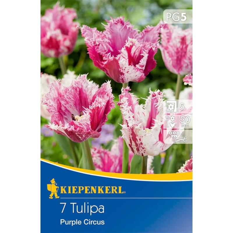 kiepenkerl tulipa purple circus tulipán virághagymák