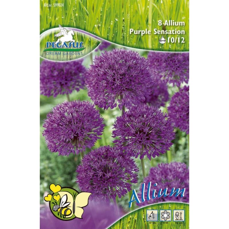 Pegasus Purple Sensation díszhagyma virághagymák