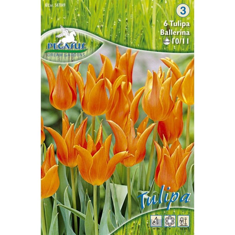 Pegasus Ballerina tulipán virághagymák