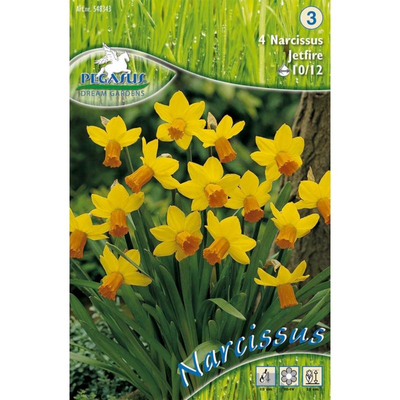 Pegasus Narcissus Jetfire nárcisz virághagymák